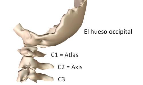 El cuello et las vértebras cervicales