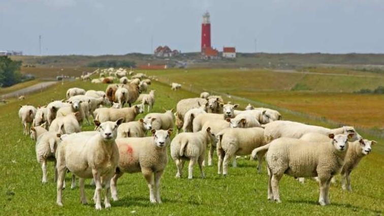schapen op de dijk