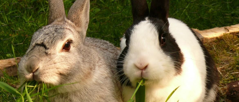 Aanschaf van een konijntje