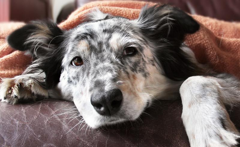 Hond is ziek na vergifitiging door chocolade
