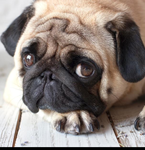Chocolade bij honden: hond kijkt schuldig na eten chocolade