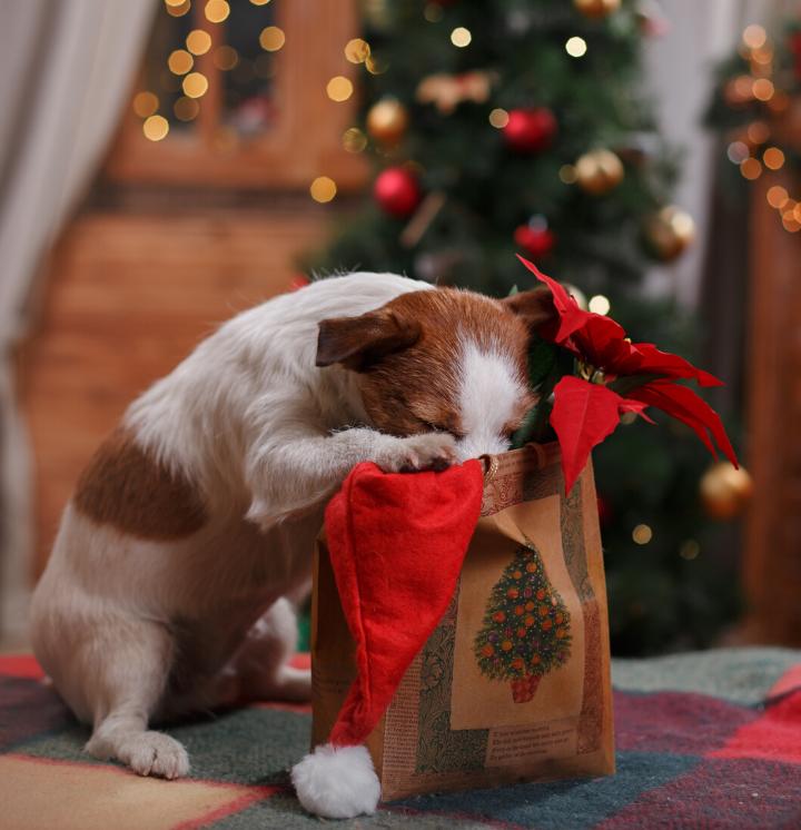 Meer chocoladevergiftiging bij honden met kerstmis