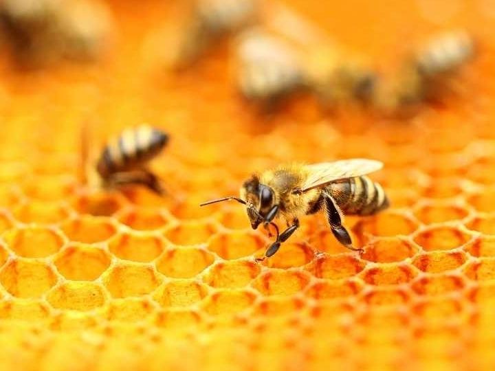 bijen-in-nederland