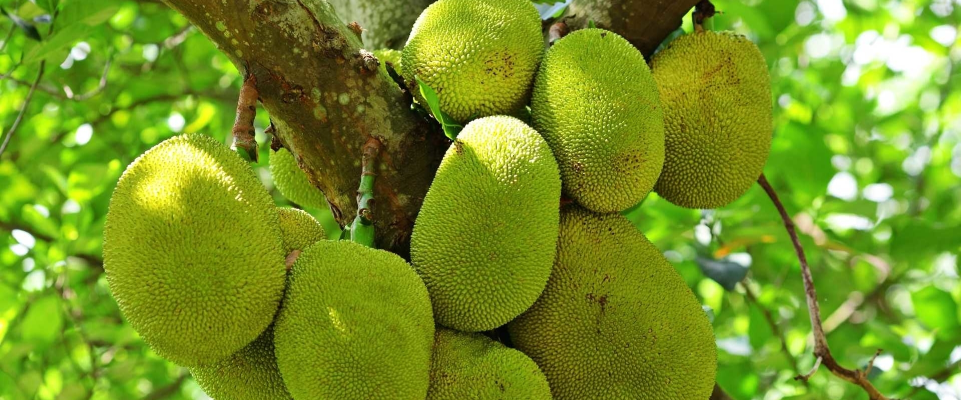 Jackfruit als vleesvervanger