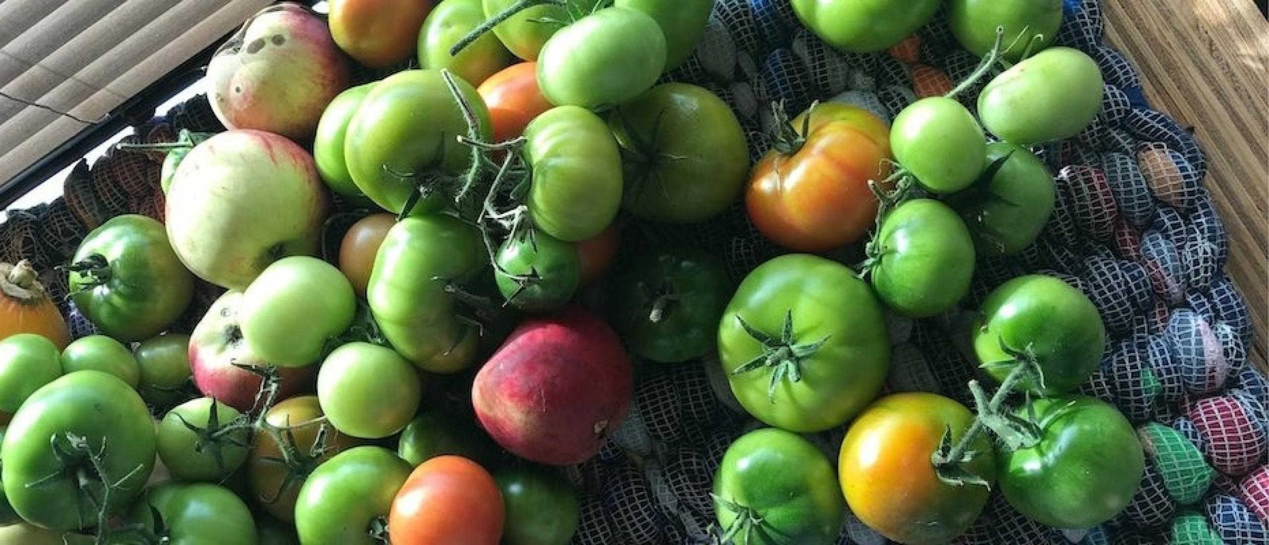 Help, mijn tomaten worden niet rood!