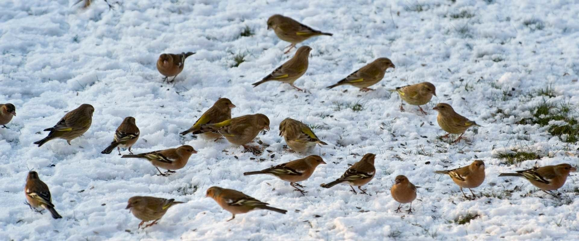 Vogels bijvoeren in de winter, 10 tips