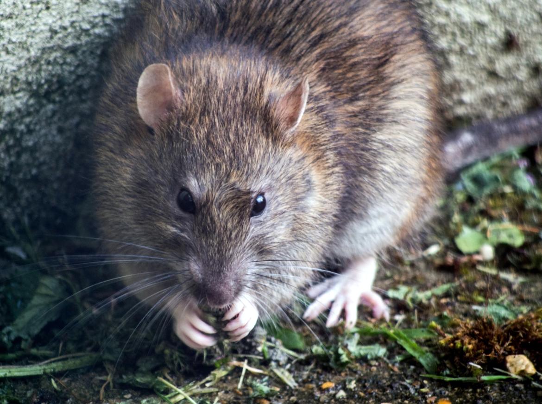 Rat in de camper