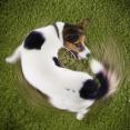 hond die zijn staart najaagt