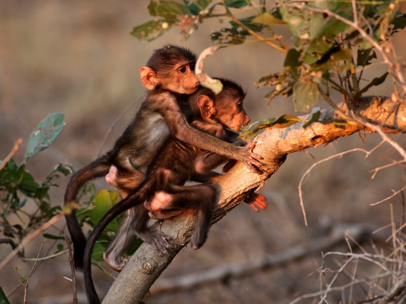 Aapjes Kruger National Park - Luxe Safari Zuid-Afrika