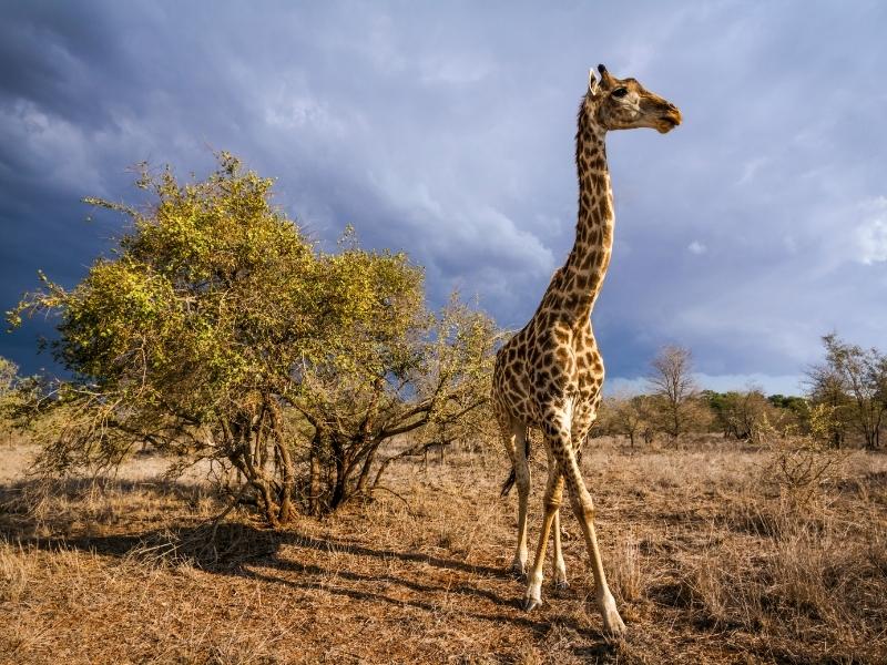 Giraffe Kruger National Park - Luxe Safari Zuid-Afrika