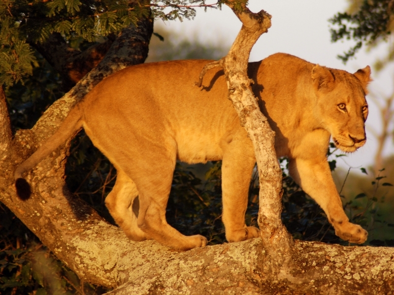 Leeuw Kruger National Park - Luxe Safari Zuid-Afrika