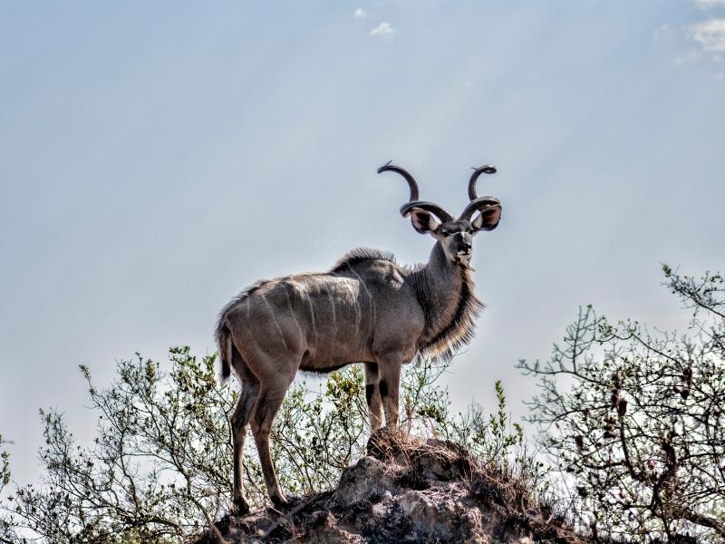 Kudu Kruger National Park - Luxe Safari Zuid-Afrika