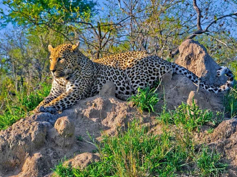 Luipaard Kruger National Park - Luxe Safari Zuid-Afrika