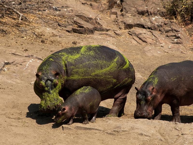Nijlpaarden Kruger National Park - Luxe Safari Zuid-Afrika
