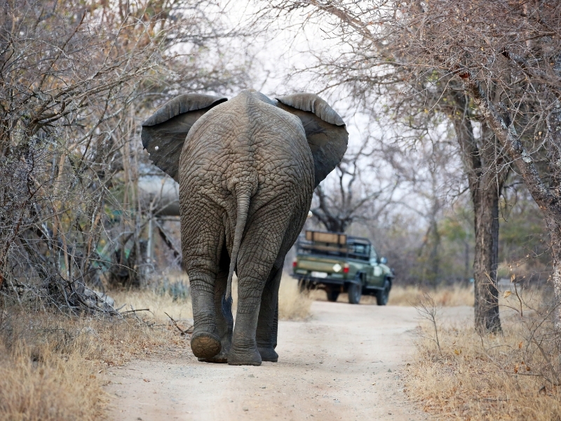 Olifant Safari Drive Kruger National Park - Luxe Safari Zuid-Afrika