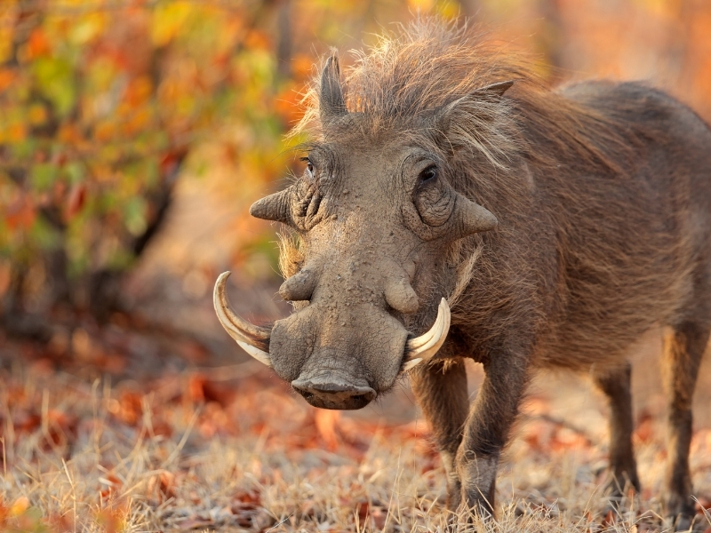 Wild Zwijn Kruger National Park - Luxe Safari Zuid-Afrika