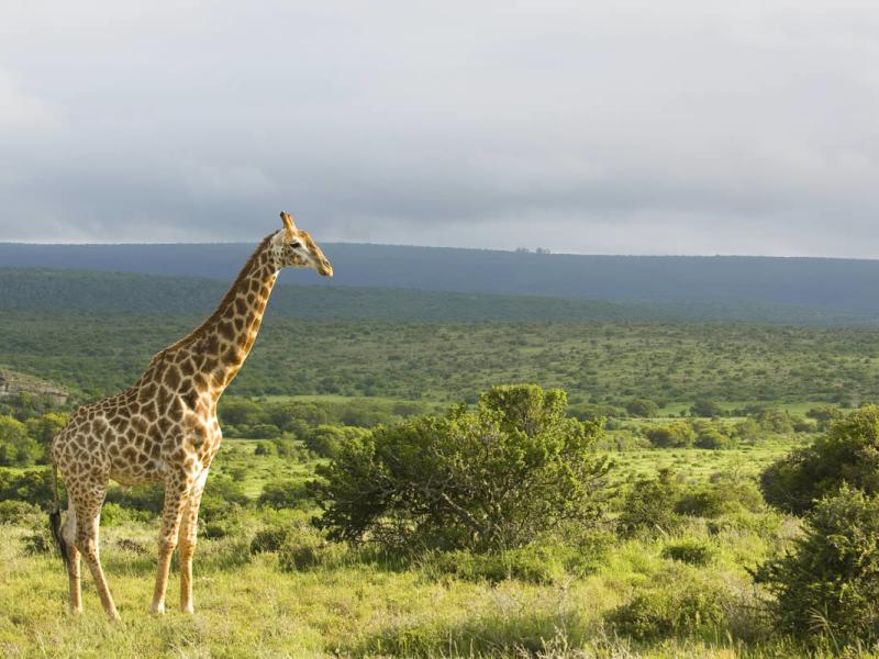 Kwandwe Game Reserve - Luxe Safari Zuid-Afrika - Giraffe