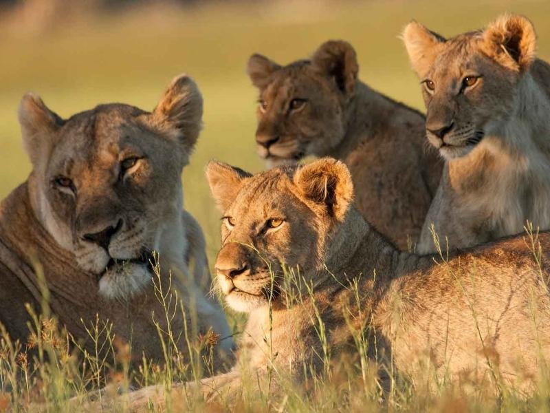 Kwandwe Game Reserve - Luxe Safari Zuid-Afrika - Lion Family