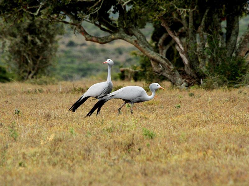 Kwandwe Game Reserve - Luxe Safari Zuid-Afrika - Blue Cranes