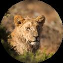 Kwandwe Game Reserve - Luxe Safari Zuid-Afrika - Lioness