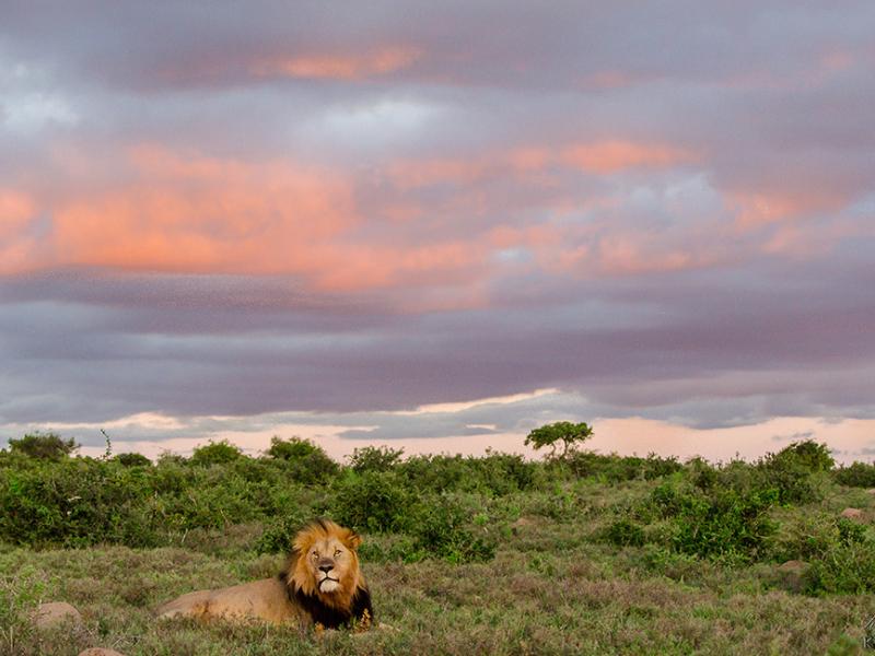 Kwandwe Game Reserve - Luxe Safari Zuid-Afrika - Leeuw Sunset