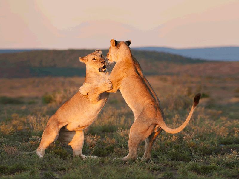 Kwandwe Game Reserve - Luxe Safari Zuid-Afrika - Lions Dancing