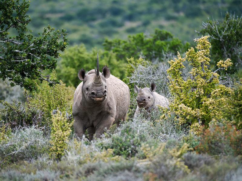 Kwandwe Game Reserve - Luxe Safari Zuid-Afrika - Neushoorns