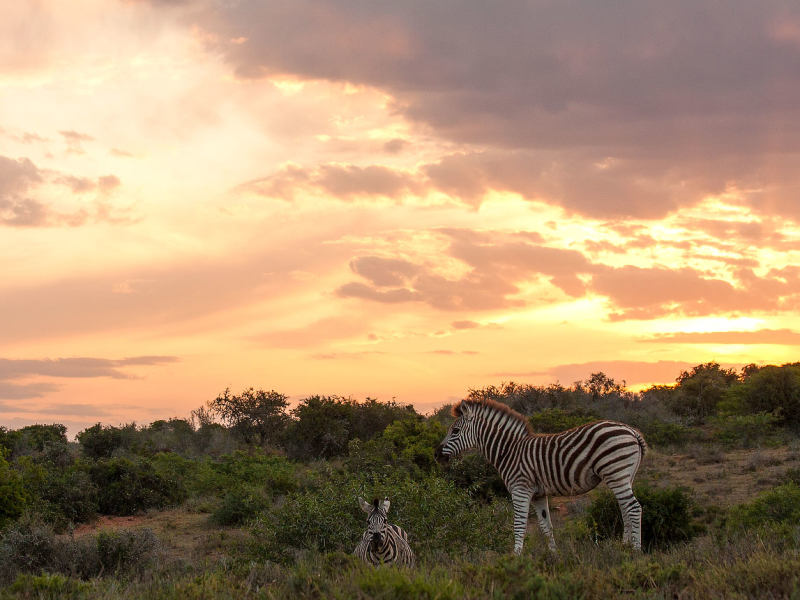 Kwandwe Game Reserve - Luxe Safari Zuid-Afrika - Zebra Sunset