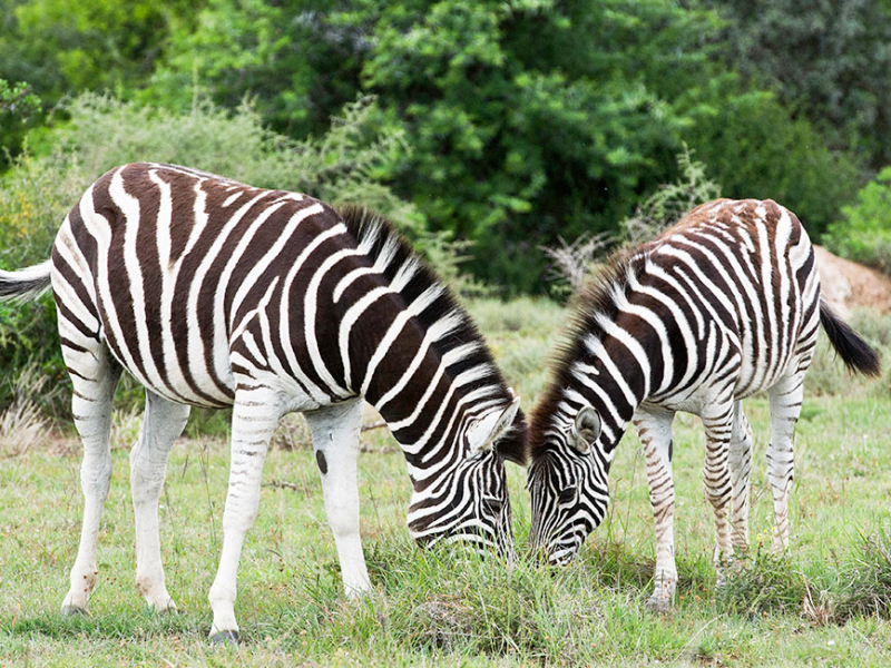 Kwandwe Game Reserve - Luxe Safari Zuid-Afrika - Zebra