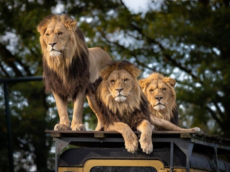 lion-safari-zuid-afrika