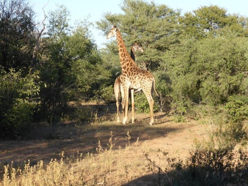 Marakele National Park - Luxe Safari Zuid-Afrika - Giraffes