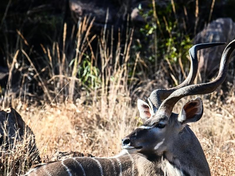 Marakele National Park - Luxe Safari Zuid-Afrika - Kudu