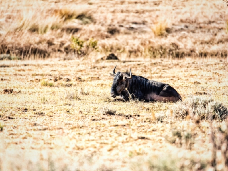 Marakele National Park - Luxe Safari Zuid-Afrika - Wildebeest