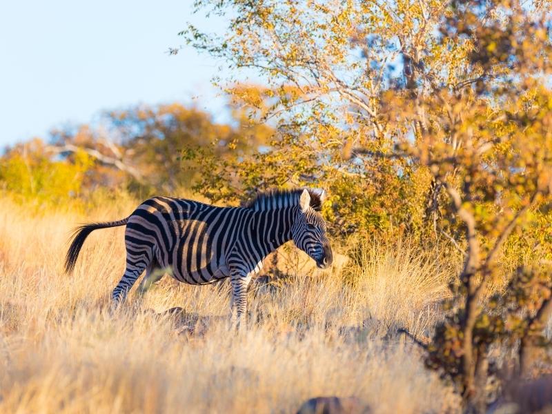 Marakele National Park - Luxe Safari Zuid-Afrika - Zebra