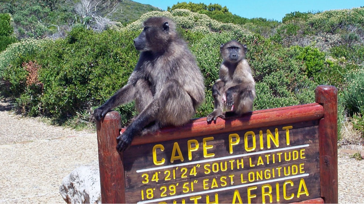 baboons-bij-cape-point-1200x675.jpg