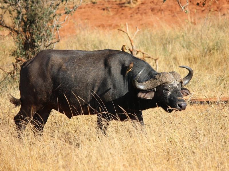 buffalo-111703_1280