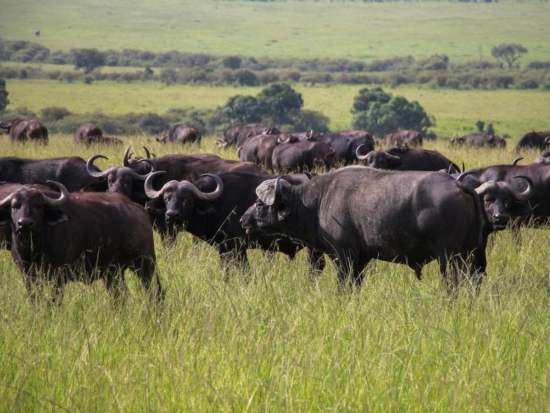 cape-buffaloes-5929180_1920