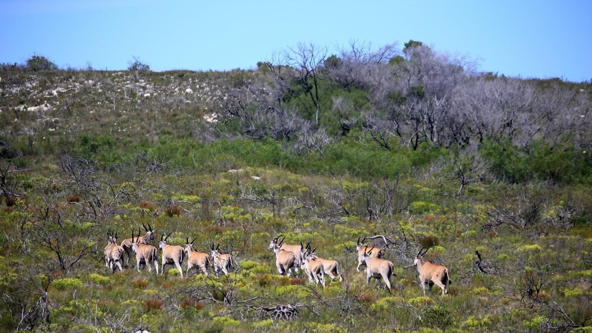 de-hoop-nature-reserve-zuid-afrika-elanden-.jpg