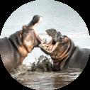 kruger-national-park-zuid-afrika-nijlpaarden