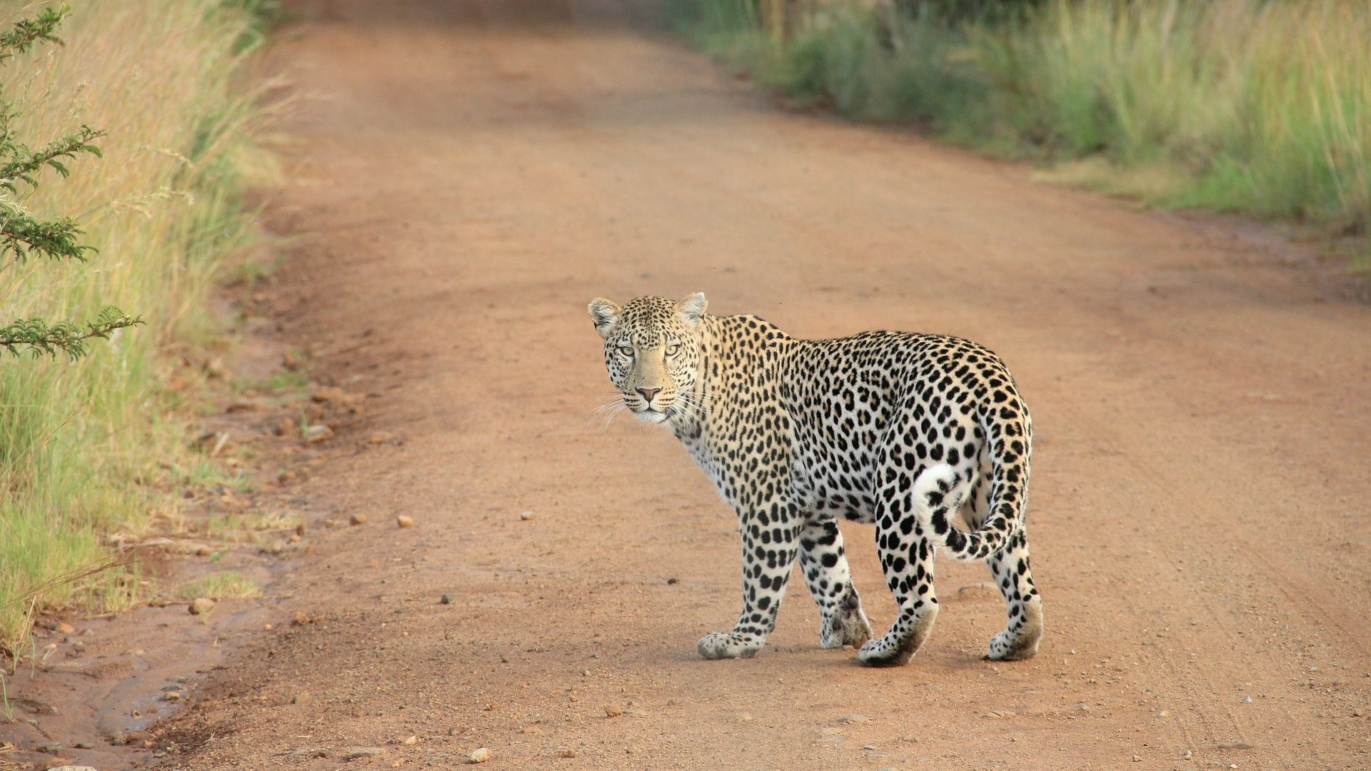 leopard-336604_1920