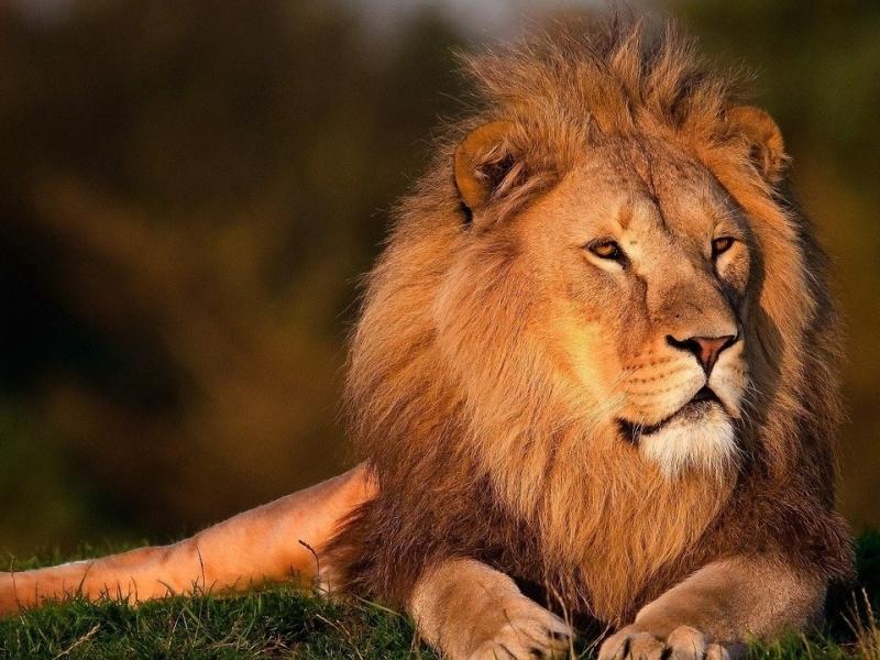 lion-leeuw
