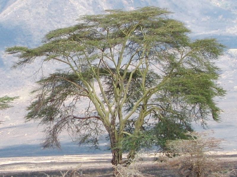 mapungubwe-national-park-ngorongoro_acacia_xanthophloea.jpg