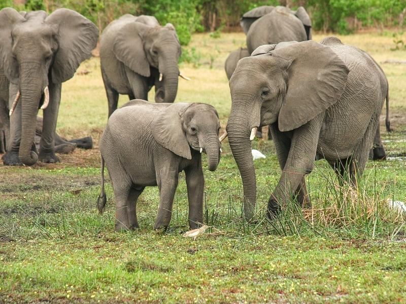olifantenkudde