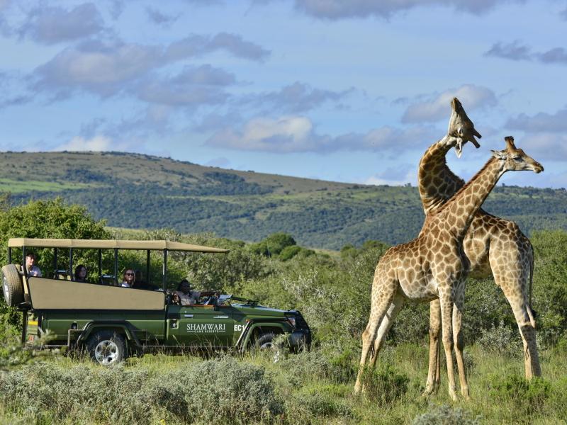 shamwari-game-drive-giraffe.jpg