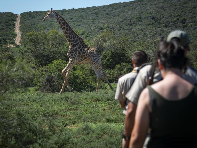 shamwari-game-reserve-walking-safari-giraffe.jpg