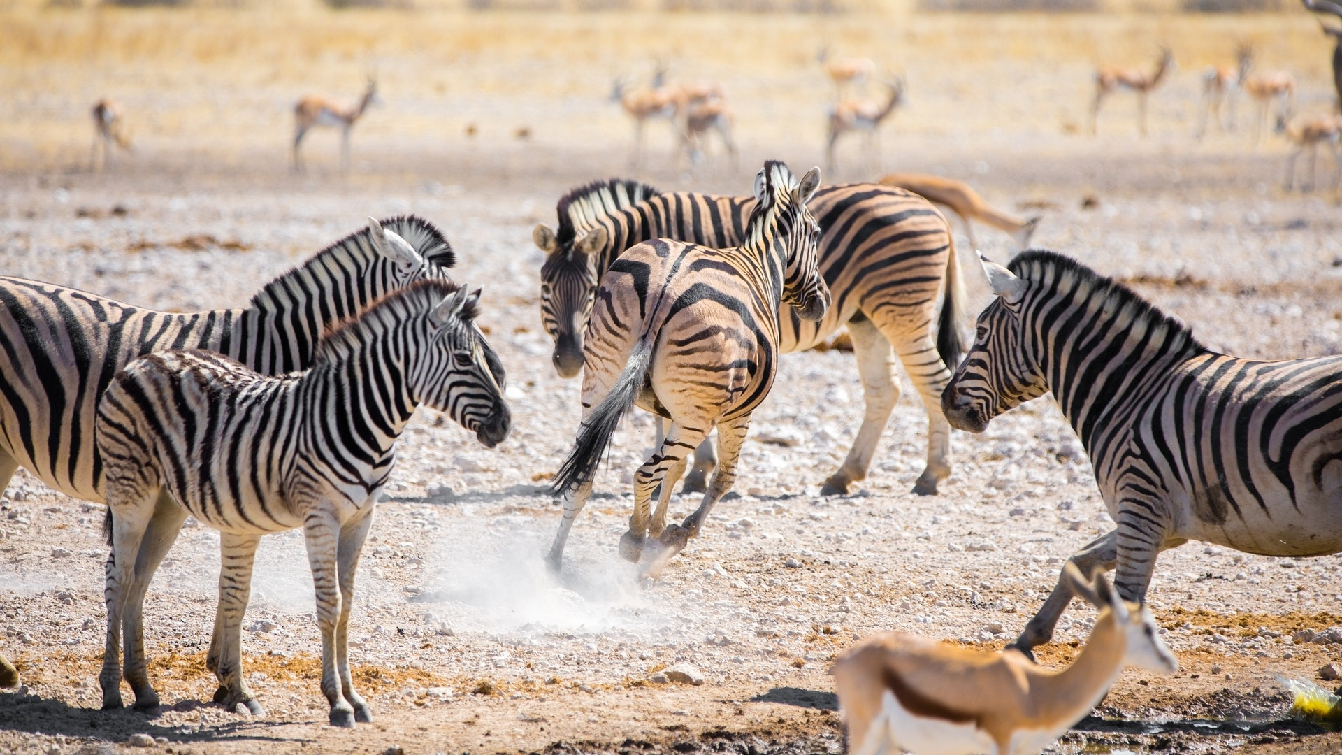 zebras-zuid-afrika