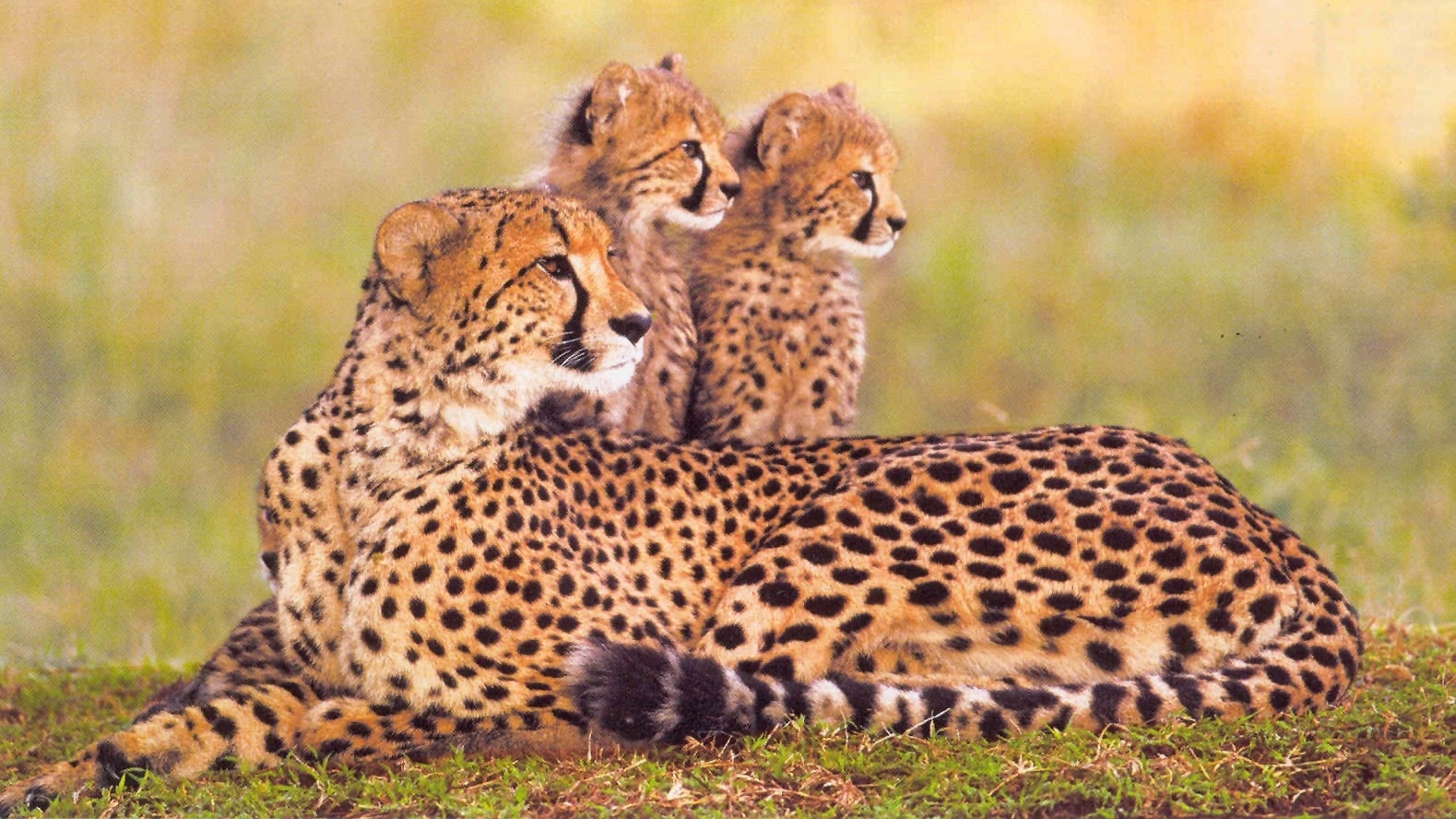 zie-een-moeder-cheetah-met-jonkies-tijdesn-uw-safari-in-zuid-afrika-via-exclusive-culitravel.jpg