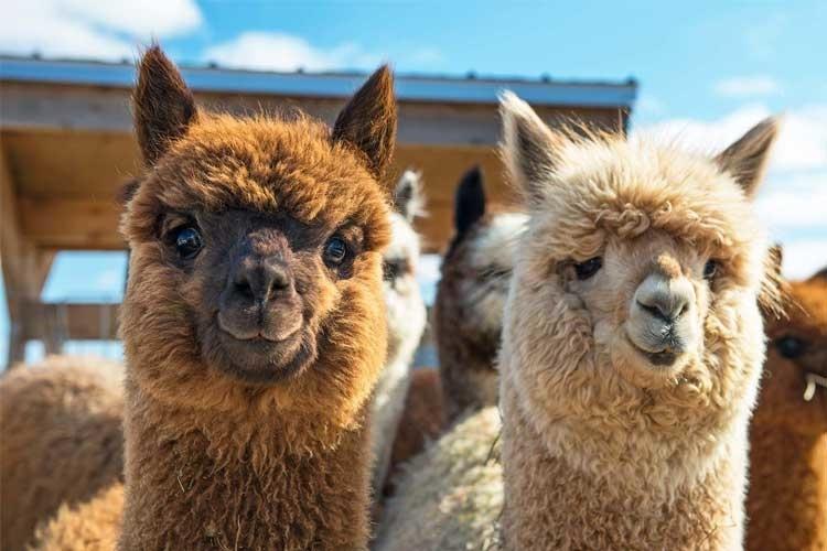 alpaca-loom-to-do-kids