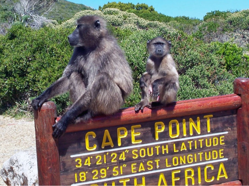 kaapstad in zuid afrika baboons cape point