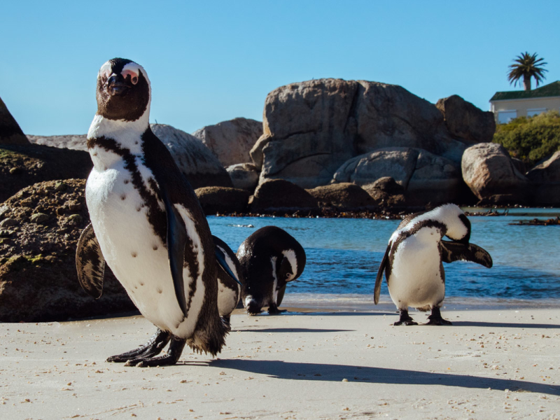 stranden in zuid afrika boulders beach pinguins